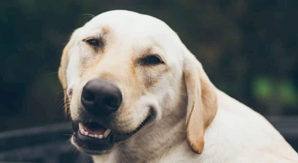 Senior Golden Labrador Retriever looking at camera