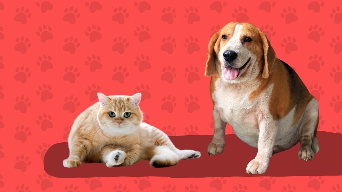 Overweight dog and cat on red background