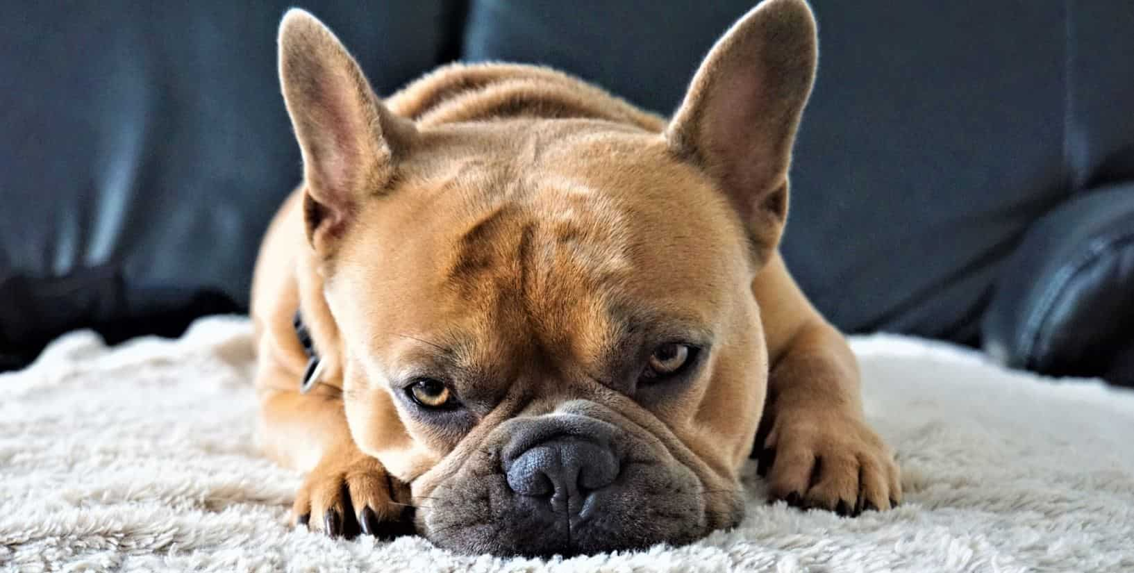 French Bulldog lies on carpet
