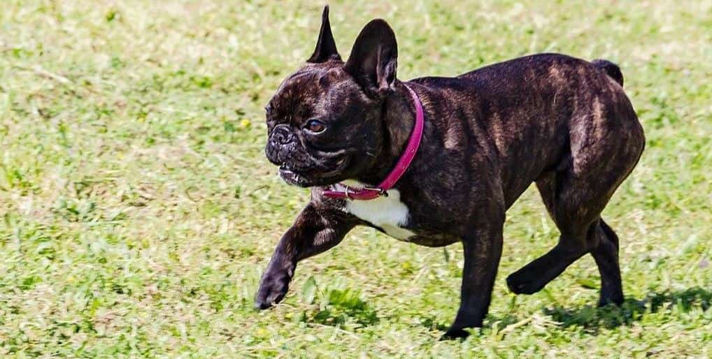 Black French Bulldog at park