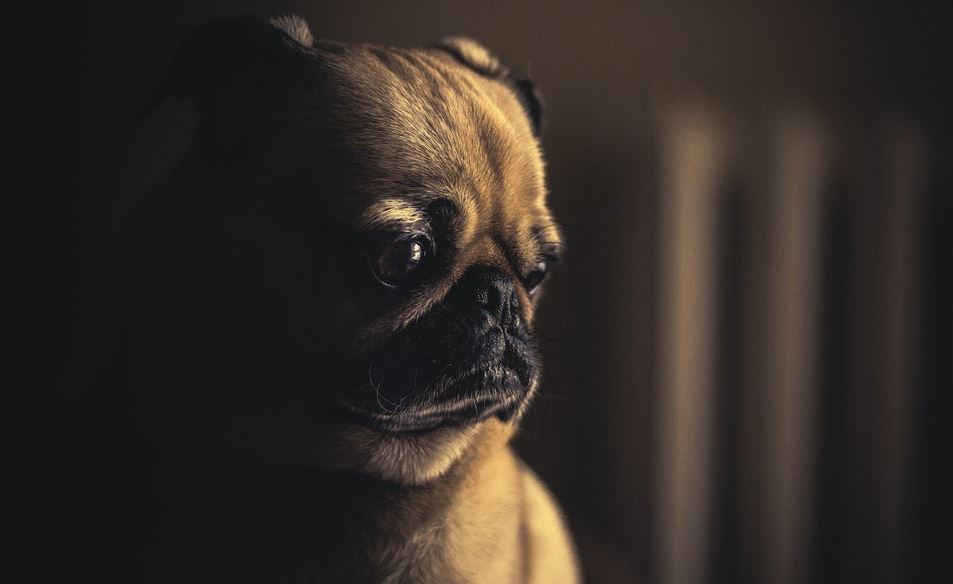 Pug in a dark room