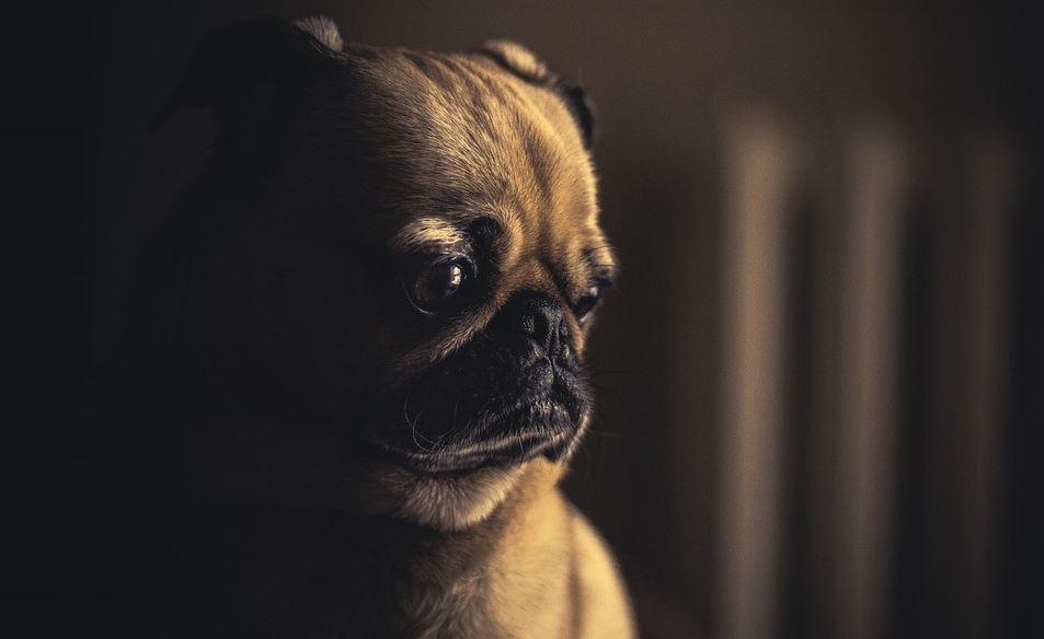 Pug in a dark room