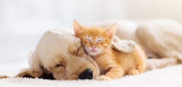 Dog and kitty taking a nap together