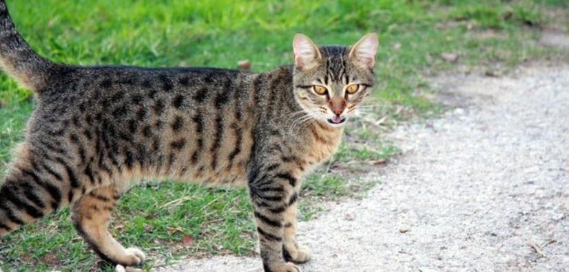 Domestic cat walks outdoors