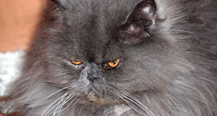 Grey grumpy Persian cat