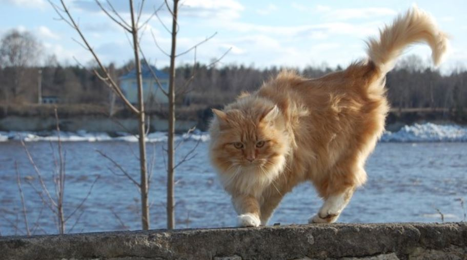 Red haired cat on stone fence