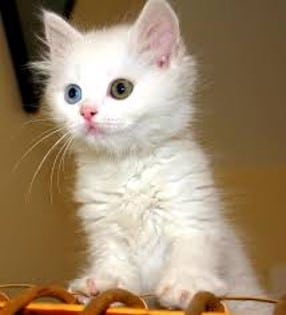 White kitty with two different eye colors stands on object