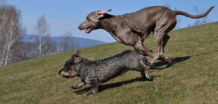 2 dogs running on land