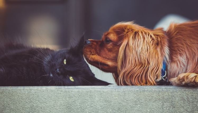 Ruby Cavalier dog sniffing cat
