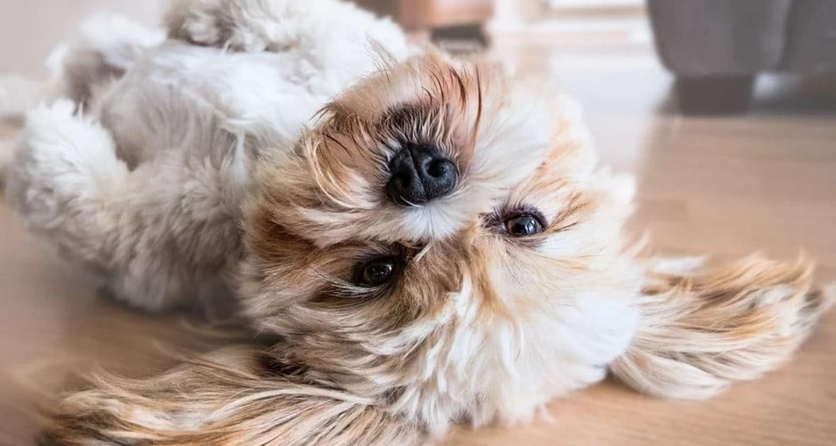 Shih Tzu rolling on the floor
