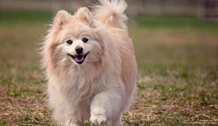 Pomeranian was the first weak positive to coronavirus test