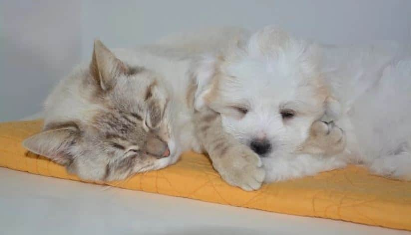 White dog and cat sleeping next each other