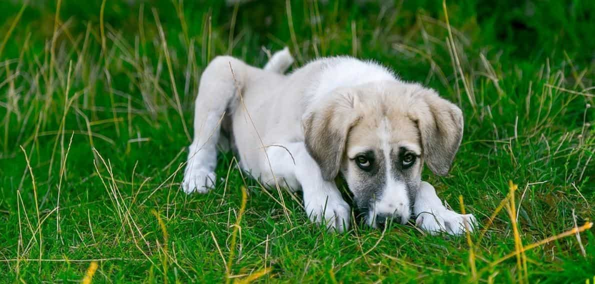 White dog lies on grass outdoor