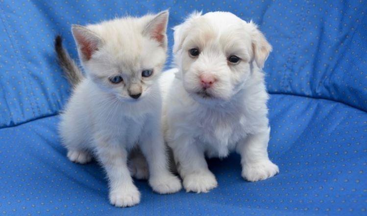 White puppy kitty on blue cushion
