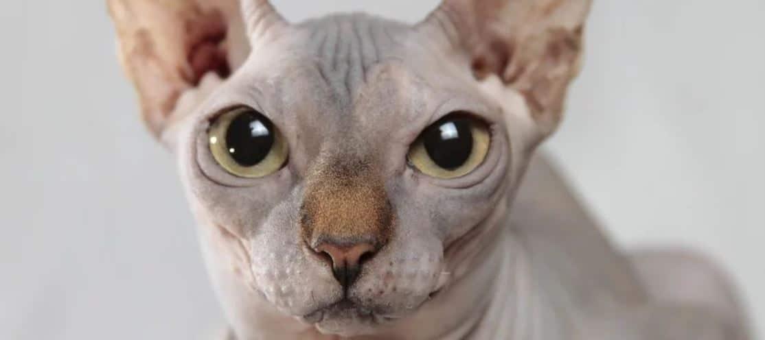 Hypoallergenic cat close up