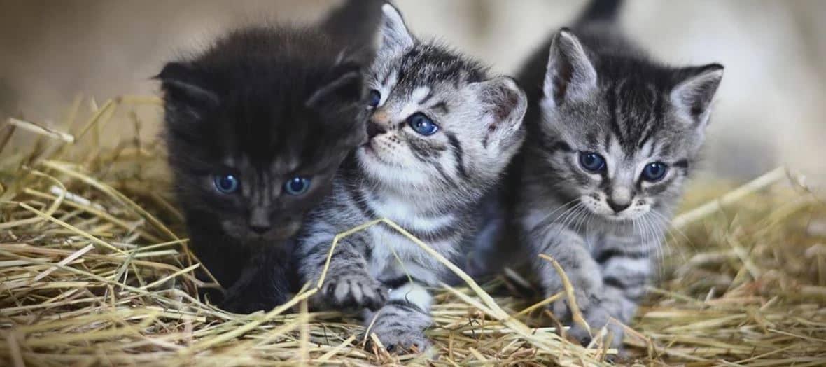 Three Kittens in straw