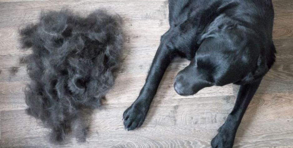 Dog and hair on the floor after groom