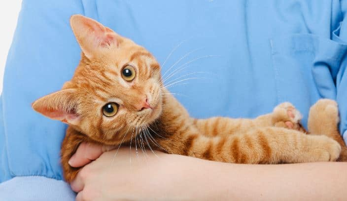 Orange cat in a doctor's arms