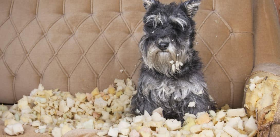 A dog chews the couch