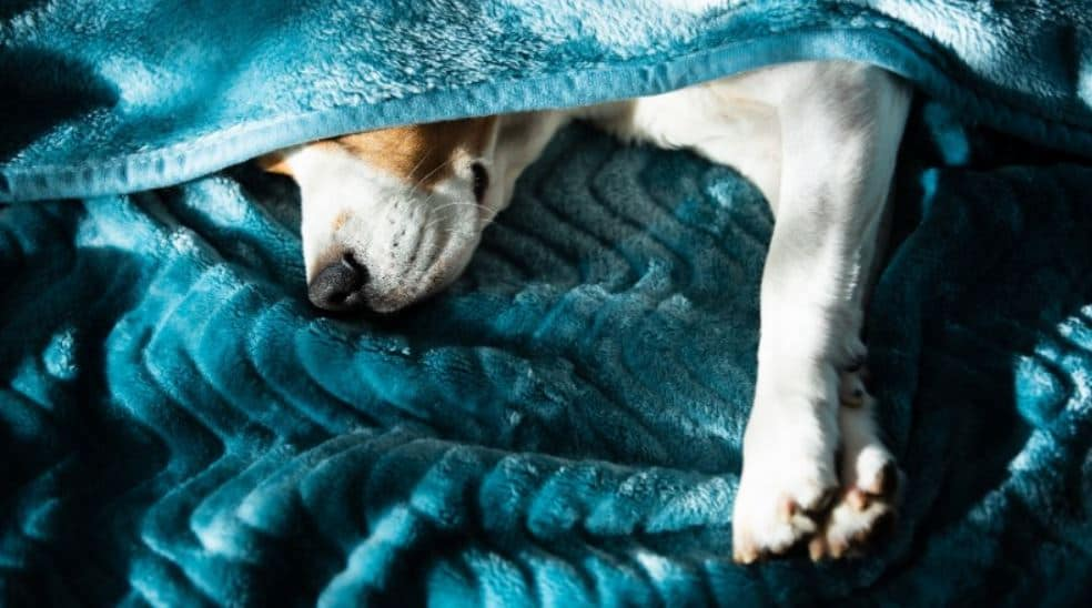 Dog covered by blue blanket
