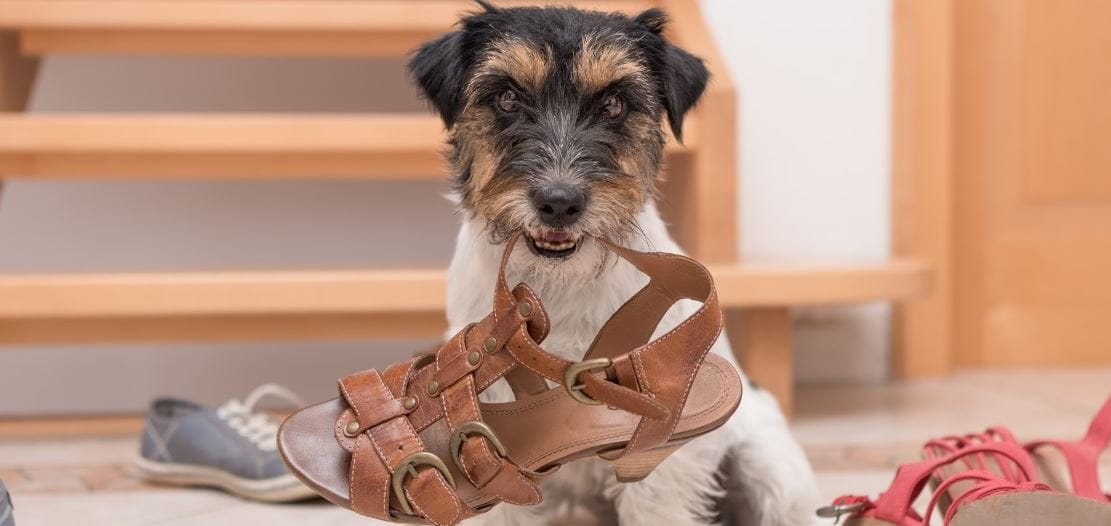 A dog hold a sandal in his mouth
