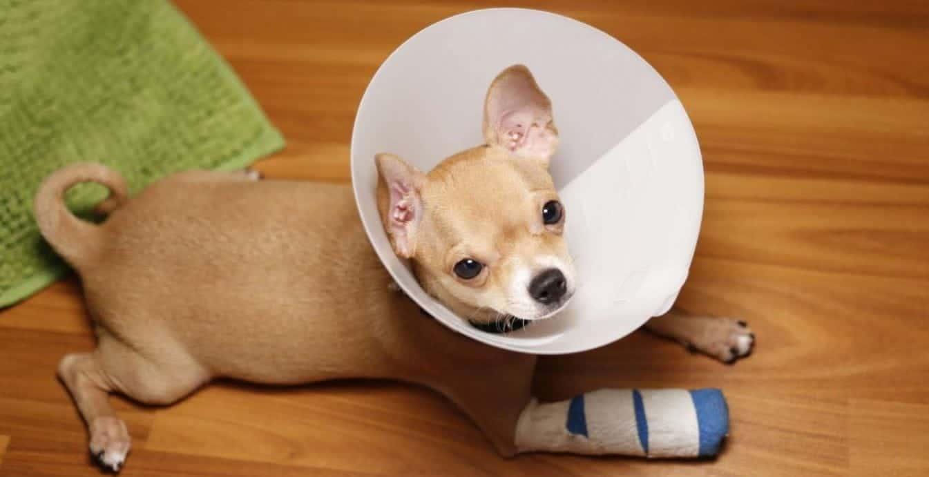 Injured sick puppy mill dog