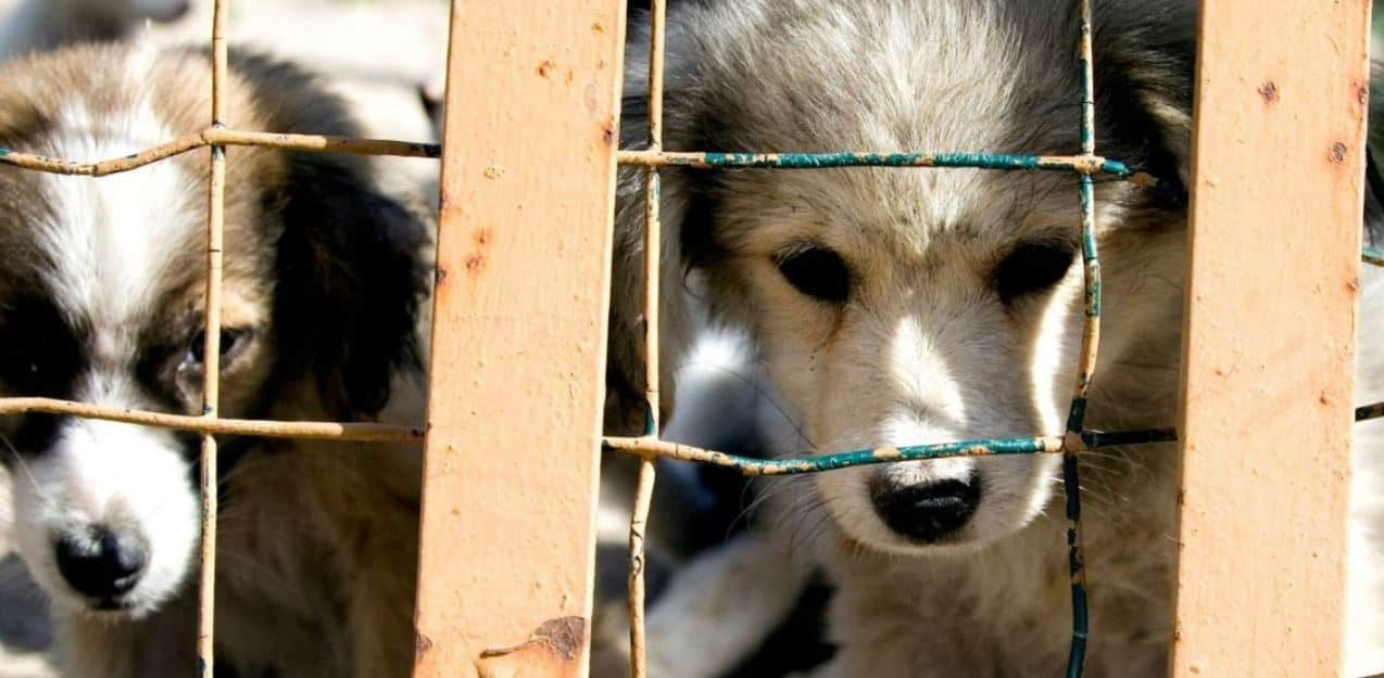 Puppies depressed in cages outside