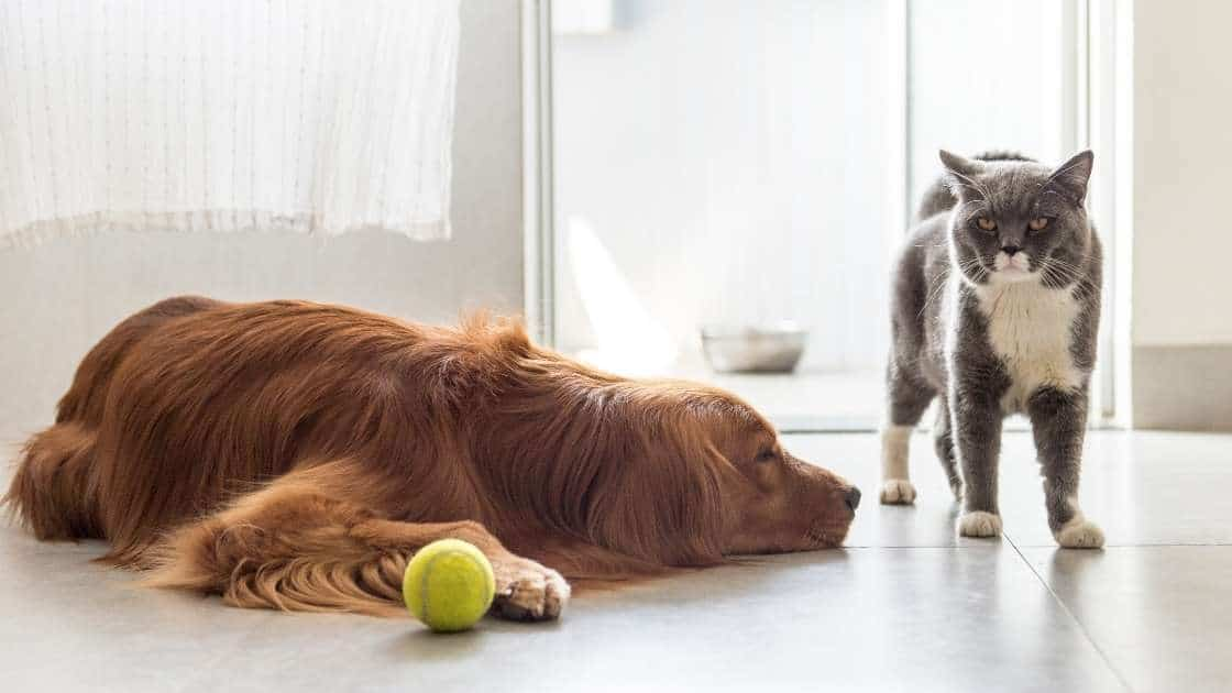 Large dog and small cat with yellow tennis ball