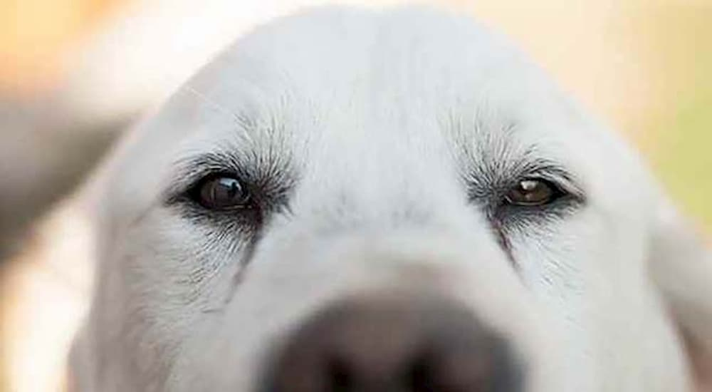 white dog close up of face