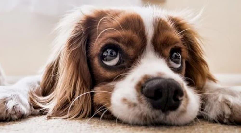 Small dog lying on the floor