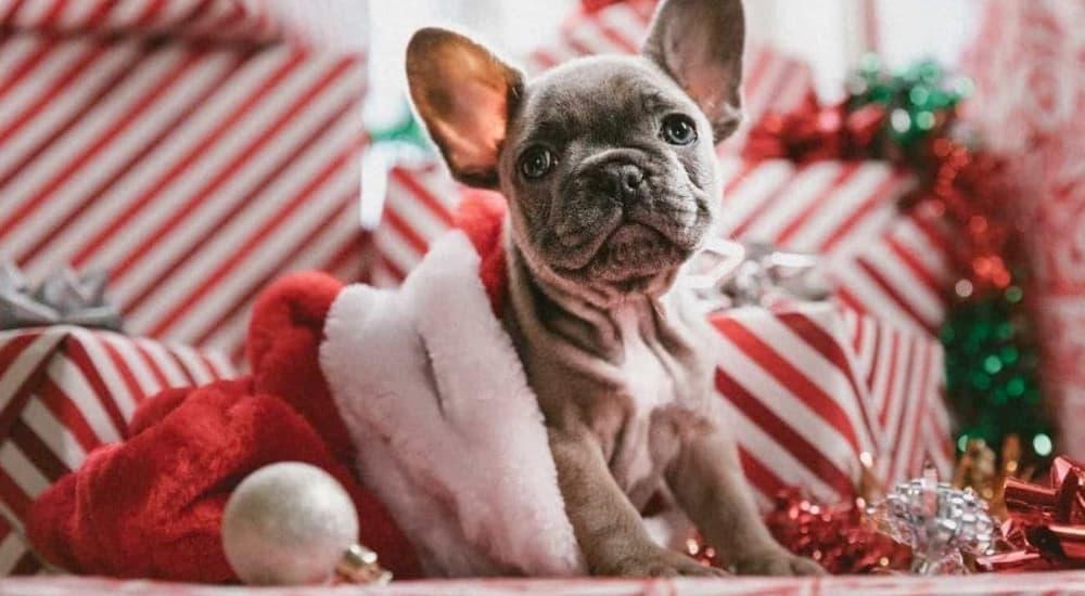 Grey french bulldog in santa hat