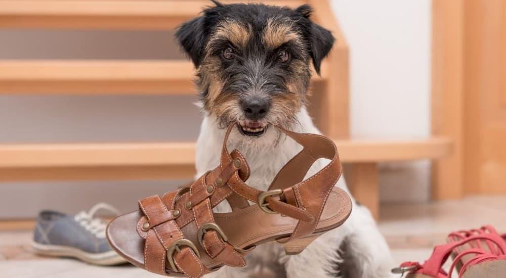 Terrier dog holding brown sandal