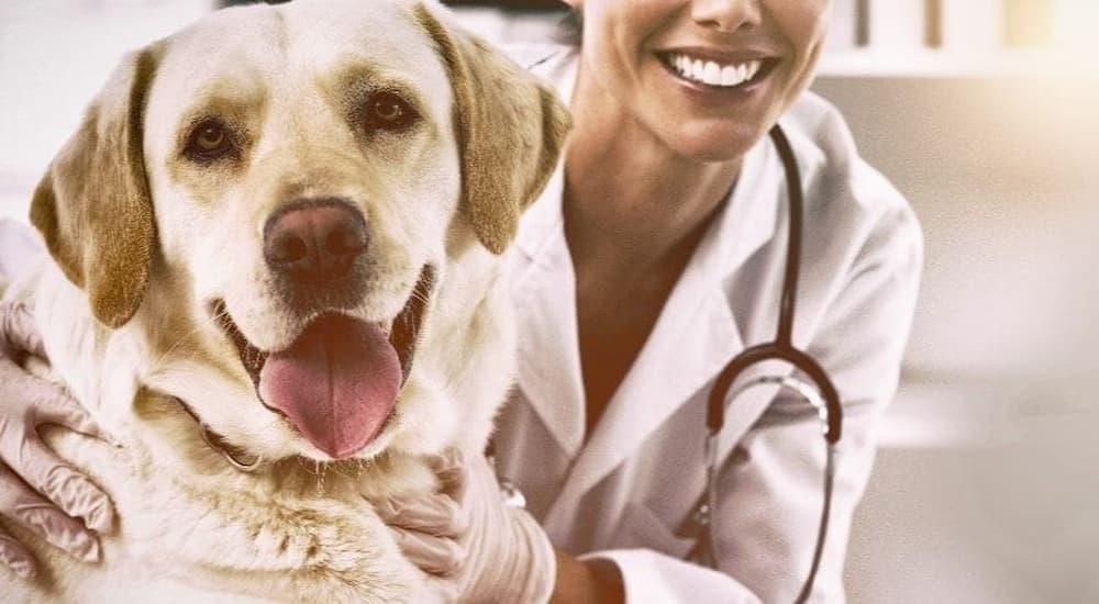 Labrador Retriever getting an annual vet exam