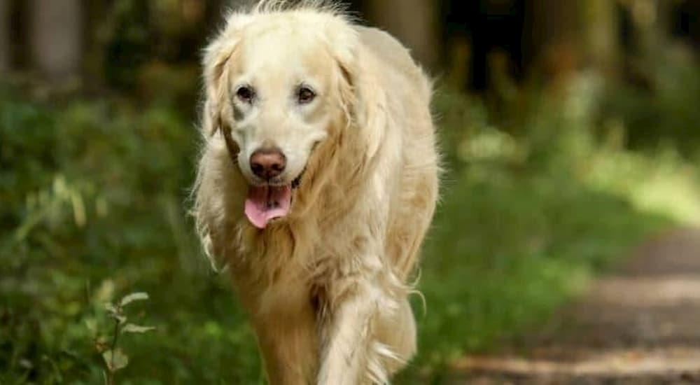 Golden Retriever on a walk