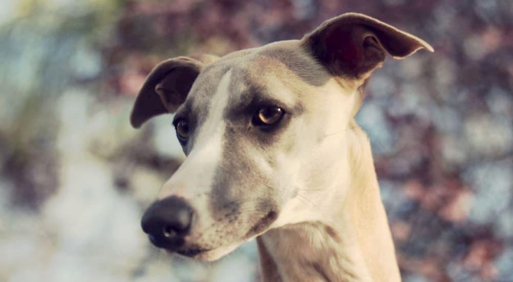 Greyhound Face