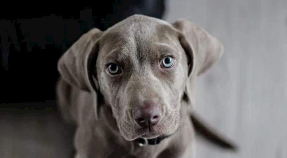 Weimaraner puppy looking up
