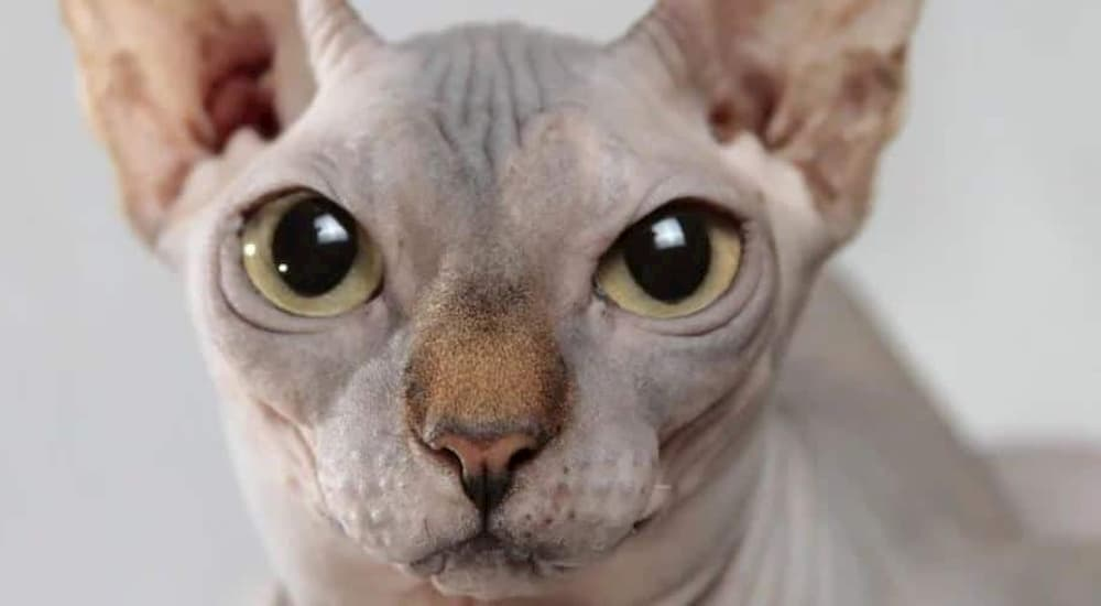 Hypoallergenic cat close up