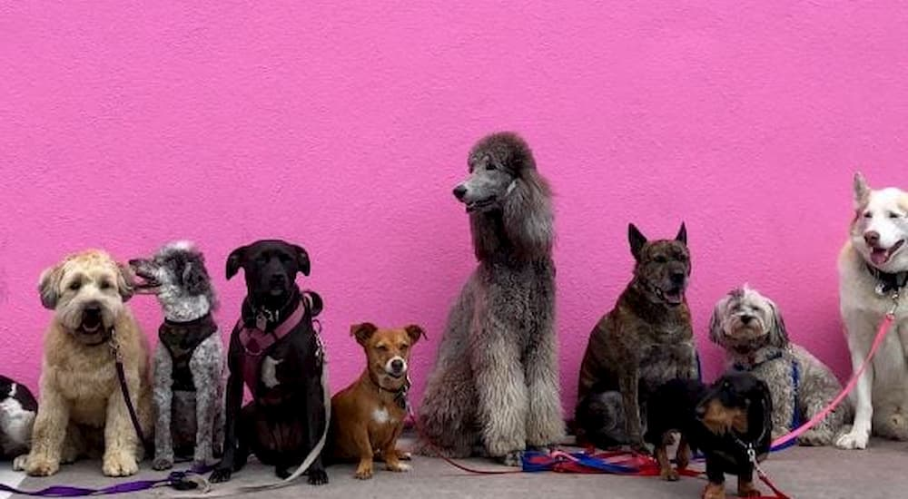 Many kinds of breeds in front of pink wall